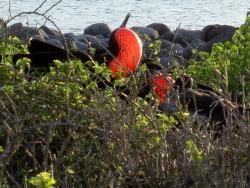 frigate-bird-male